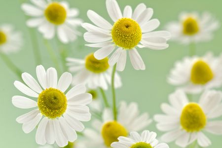 chamomile flower benefits