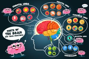 parts and functions of brain