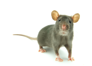 biblical-meaning-of-rats-in-a-dream